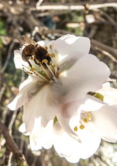 First almond flowers december 31st 2013 - Gran Canaria