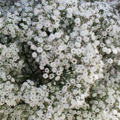 Baby's Breath is one of the most popular wedding bouquet, flower arrangement, and centerpiece filler. Shop today for wholesale Baby's Breath from FiftyFlowers. Wedding Bells, Fall Wedding, Rustic Wedding, Our Wedding, Dream Wedding, Wedding Venues, Wedding Ideas, Chic Wedding, Tiny Flowers