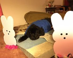 #Tripawds - Happy Easter from Shammy a new tripawd.