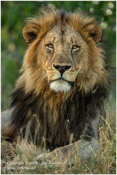 His Majesty. by alexkirichko #animals #animal #pet #pets #animales #animallovers #photooftheday #amazing #picoftheday