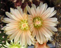 Eriosyce odieri in flower