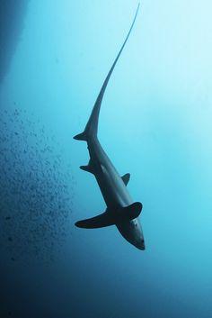 ong-tailed or common thresher shark, Alopias vulpinus   fox-shark/ long-tailed shark/ common thresher shark
