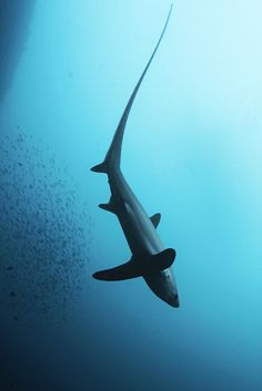ong-tailed or common thresher shark, Alopias vulpinus   fox-shark/ long-tailed shark/ common thresher shark