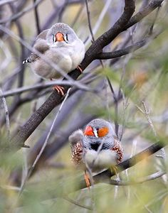 Specializing in zebra finches, with 30 other varieties and rare mutations plus…