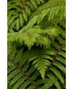 Alaskan Fern (Polystichum setiferum) - Monrovia - Alaskan Fern (Polystichum setiferum)