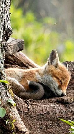 Rede Fox Cub by Marcel Castelli