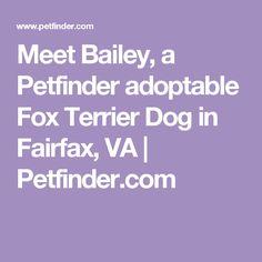 Meet Bailey, a Petfinder adoptable Fox Terrier Dog in Fairfax, VA | Petfinder.com