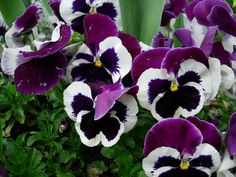 Black and Purple Pansy Flower Paintings - Yahoo Image Search Results