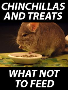 Chinchillas and Treats – What NOT to Feed