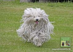 Image from Dog-friendly Gardening - Creating a safe haven for you and your dog by Karen Bush Mop Dog, Dog Cat, Hungarian Dog, Best Guard Dogs, Komondor, Rare Dog Breeds, Herding Dogs, Man And Dog, Dogs