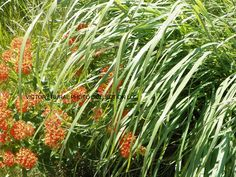 BUTTERFLY WEED does attract butterflies, bees and hummingbirds.  The bright orang plants grow wild but seeds are available and plants at some nurseries.  Would you plant this beautiful on your wall décor?