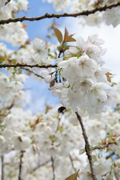 Cherry 'Tai Haku' in blossom. Discover five of the best cherry trees for blossom: http://www.gardenersworld.com/blogs/plants/cherry-blossom/2767.html Photo by Marsha Arnold
