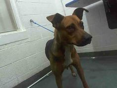 ***SUPER SUPER URGENT!!!*** - PLEASE SAVE LADY!! - EU DATE: 11/8/2014 -- Lady Breed:German Shepherd (mix breed) Age: Young adult Gender: Female Size: Large Shelter Information: Miami-Dade Animal Services 7401 NW 74 St  Miami, FL Shelter dog ID: A1641576 Contacts: Phone: 305-884-1101 Name: Adoptions email: Pets@miamidade.gov
