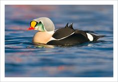 """""""The King Eider...spectacular sea duck. I love their stunning colouring and the scapular triangular erect 'sails'  they display as they paddle."""" -- Jules Cox Photography"""