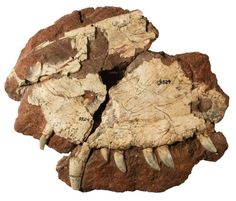 Dimetrodon borealis.  The curved teeth in the upper jaw can be clearly made out.