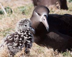 66-year-old-albatross-new-chicks