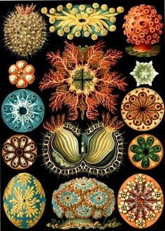 From Ernst Haeckel's Kunstformen der Natur (1904). A naturalist illustrator and writer, Haeckel painted a variety of organisms including arachnids, turtles, bryozoa, sea anemones, and others. Ascidian (Ascidiae)