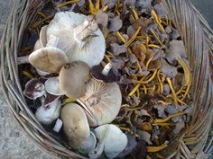 winter chanterelle, field shrooms and field blewits