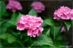A look at what's new in my garden this July. Plants, Garden, Hydrangea, Rose, Flowers