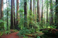Rockefeller Forest. The largest remaining old-growth redwood forest in the world.