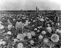 """Men in Lankershim, now North Hollywood, in a field of pumpkins in 1915. Pumpkins were sometimes called """"Lankershim oranges"""" at that time. Weddington Family Collection."""