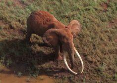 Datos impresionantes y hermosos acerca de los elefantes