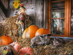 Autumnal decoration enriched with two kittens, under the projecting roof of a farm house in the Emmental county in Switzerland  -  Photo by Hanny Heim Snowbird Photography #photography   #fotografie   #switzerland   #emmental   #animals   #kittens   #katzen   #stilllife   #autumn   #herbst   #tiere