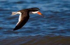 Foto talha-mar (Rynchops niger) por Guilherme Ortiz | Wiki Aves - A Enciclopédia das Aves do Brasil