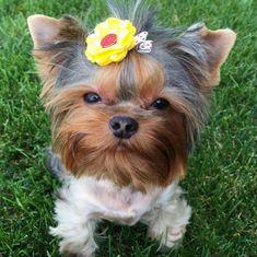 Os 30 Menores Cães Na Terra | PressRoomVIP - Part 14