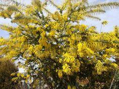 """アカシアの木 """"ゴールデンミモザ プルプレア"""" 3号ポット苗 庭木 常緑樹 シンボルツリー"""