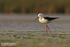 Birding stories: birdwatching and photography trips: Black-winged Stilt photography in Bulgaria