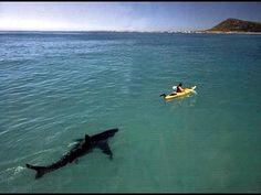 Great White Shark stalking a kayak, Gansbaai, South Africa. by Tom Peschak, Africa Geographic Shark Pictures, Shark Photos, Funny Animal Pictures, Funny Animals, Funny Pics, Picture Writing Prompts, Picture Prompt, Writing Topics, Canada Images