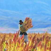 Quinoa: alimento milagroso ou moda?