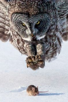Quick to Pounce ~ Owl and Mouse, Minnesota, Great Gray Owl by Tom Samuelson