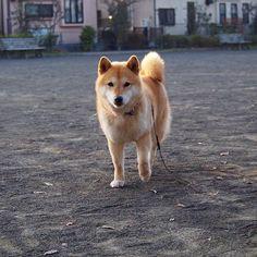 Pinを追加しました!/公園にお散歩にきたよ #shiba #dog #komugi #shibe #柴犬