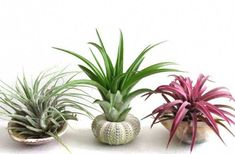 10 Easy Air Plant Display Ideas Looking for new ways to display your air plants? Here are ten air plant display ideas and DIY tutorials to show off air plants beautifully in your home. Air Plant Display, Plant Decor, Hanging Plants, Indoor Plants, Indoor Herbs, Indoor Gardening, Container Gardening, Spider Plants, Bedroom Plants