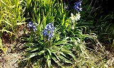 Bluebells or wild hyacinth?