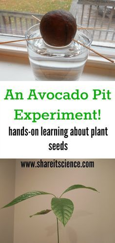 Share it! Science News : Saturday Science Experiment: Grow an Avocado!