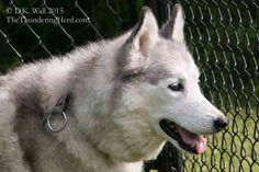 Yesterday was a Natasha Vet Visit, so we give an update. #dog #siberianhusky #husky