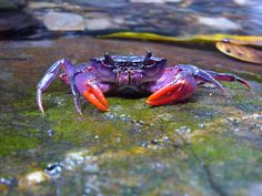 Newly discovered purple crab Insulamon Palawanense