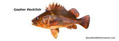 Gopher Rockfish - Sebastes carnatus.