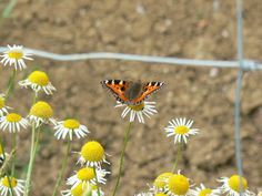 Butterfly on a Daisy by KaiHallarn111