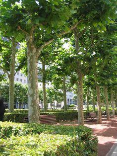 Platanus x acerifolia : La Défense : Paris