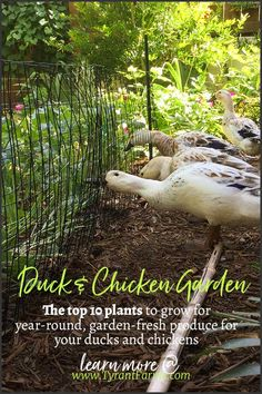 The top 10 plants to grow for year-round, garden-fresh produce for your ducks and chickens. Best DIY Incubators for 2020 Backyard Ducks, Backyard Poultry, Backyard Farming, Chickens Backyard, Chickens In Garden, Urban Chickens, Raising Ducks, Raising Chickens, Plants For Chickens