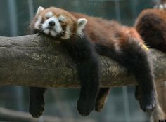 A red panda bear sleeps at the Beijing Zoo