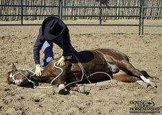 Exercise #20: Laying the Colt Down Goal: To be able to lay the colt down with no resistance using a lariat. Then while the colt is on the ground, to be able to rub all over his body with your hands and desensitize him with your tools while he remains relaxed. https://www.downunderhorsemanship.com/Store/Product/MEDIA/D/2896/