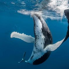 AUSTRALIAN underwater photographer Darren Jew waited decades to capture these magnificent images of whales swimming with free-diving record-holder Ai Futaki off the coast of Tonga. Underwater Photographer, Underwater Life, Delphine, Ocean Creatures, Humpback Whale, Killer Whales, Sea And Ocean, Nature Animals, Ocean Life