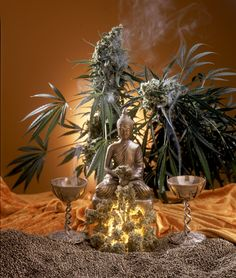 Thai Buddha statue, flanked by Jack Herer and Jack Flash plants, which are high-potency medicinal cannabis hybrids!