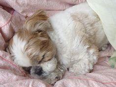 Looks like my sweet Louie when he was a baby ❤️ #shihtzu