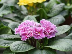 Ihre Blüten lassen uns an gefüllte Rosenblüten im Sommer denken!   Rosenblüten gibt es in den Farben rot, gelb, rosarot, violett-blau.  Direkt aus unserer eigenen Gärtnerei. Aufgrund der Ausganssperre in der Corna-Zeit können wir jetzt keine Frühlingspflanzen verkaufen, Bilder gibt es troztzdem für dich!  #erlebnisgärtnerei #hödnerhof #ebbs #mils #hall #tirol #größtegärtnereitirol #pfanzenwelt #dekowelt #einkaufswelt #erleben #ausflugsziel #eigenproduktion #gärtnerei #frühlingspflanzen… Flowers, Plants, Red Color, Colors, House Plants, Seasons, Things To Do, Yellow, Summer